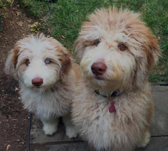 Standard size Aussiedoodle Puppies - Red Merles - Mixed Eyes