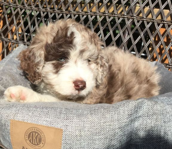 Red Merle Aussiedoodle Puppy from Rasta and Rally