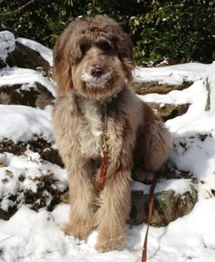 Chip - Aussiedoodle Male Adult