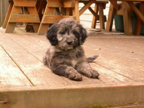 Mattie as a puppy - F1 Standard Aussiedoodle