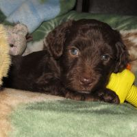 Blue Collar Male 5 wks Mini Aussiedoodle