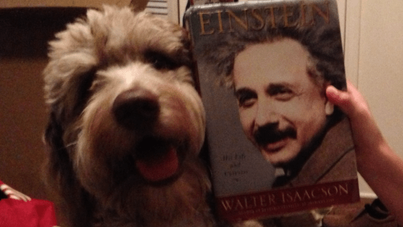 Brother from another Mother - Chip Smarty Pants F1 Standard Aussiedoodle and Famous Human Genius Einstein