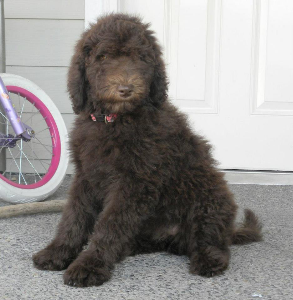 labradoodle growth chart: Loli grace f1b labradoodle aussiedoodle and labradoodle puppies