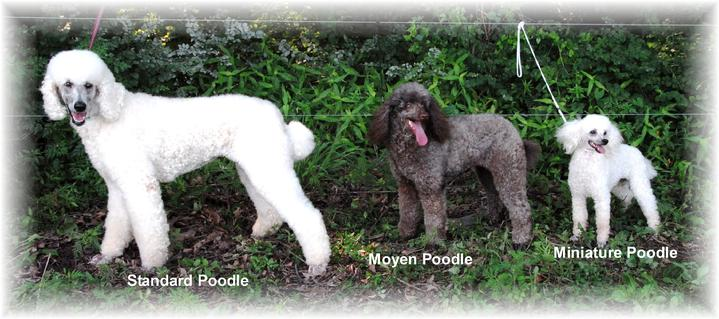 Poodle breed sizes