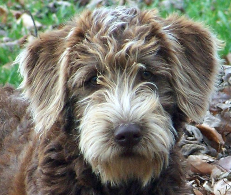 Full Grown Labradoodle Mini | Dog Breeds Picture