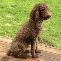 Daisy .. perfect in my opinion.. Standard Poodle