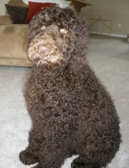 Grooming The Labradoodle Goldendoodle Amp Aussiedoodle