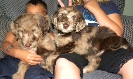 Two of our Merle F1 Aussiedoodle Puppies - Sammy and Flower
