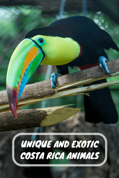 Spotting Costa Rica animals in the wild is a tricky task, but here are a few you might spot during your time in Costa Rica.