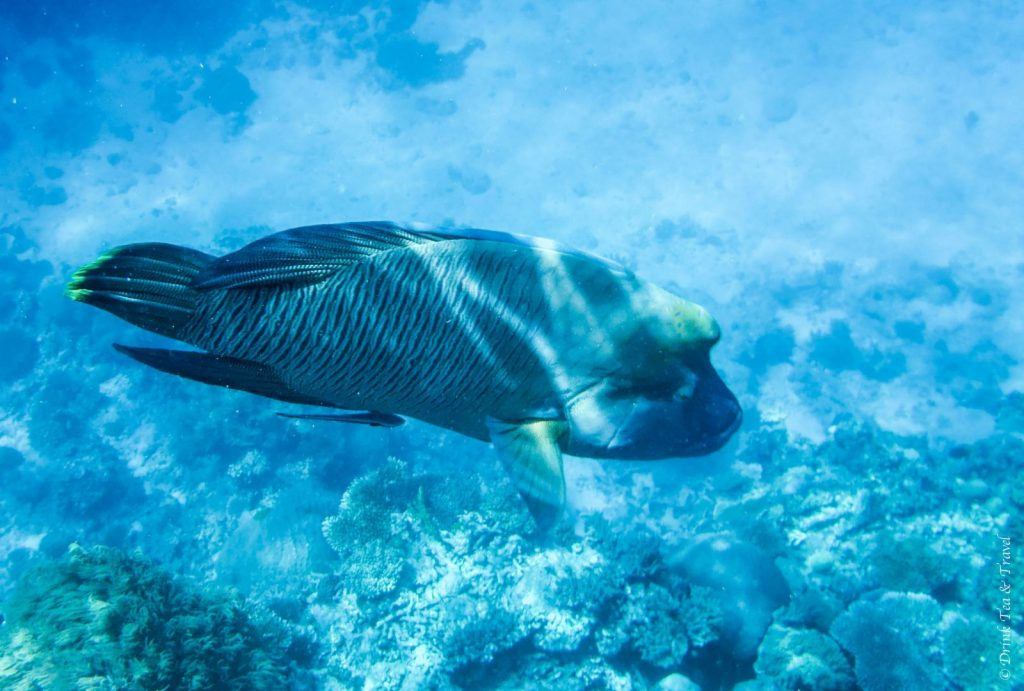 Napoleon Wrasse, Great Barrier Reef