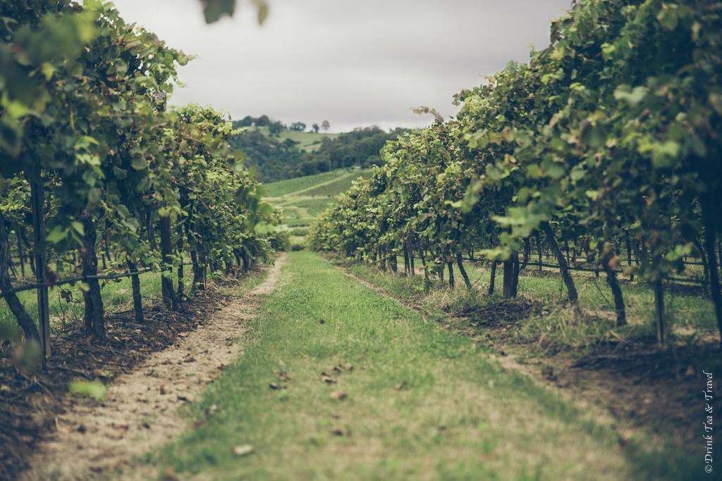 Vineyard in Hunter Valley, NSW, Australia