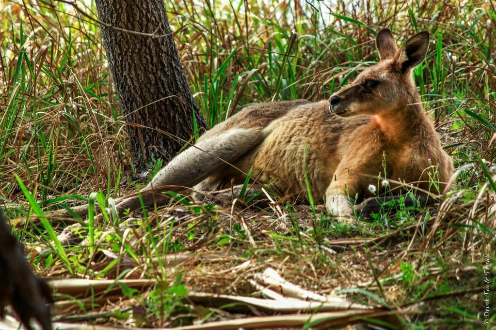 Kangaroo in the wild. Spotted on Stradbrook Island