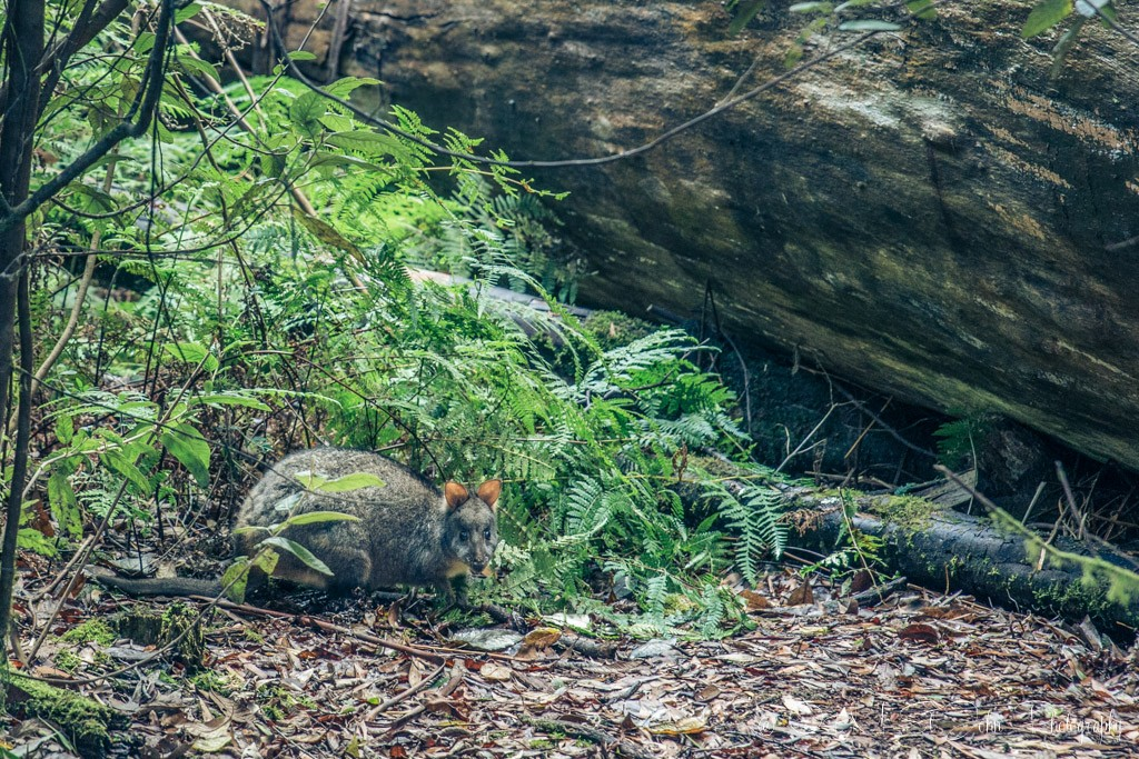 Local resident , a Tasmanian Pademelon is smaller with a more solid and rounded rump than the Benett's wallaby. Mt Field National Park
