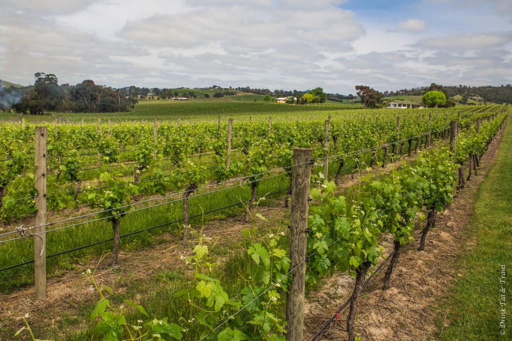 Vineyard in Yarra Valley