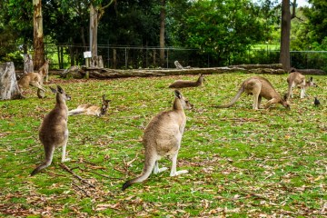 Kangaroo at Lone Pine Koala Sanctuary, Queensland