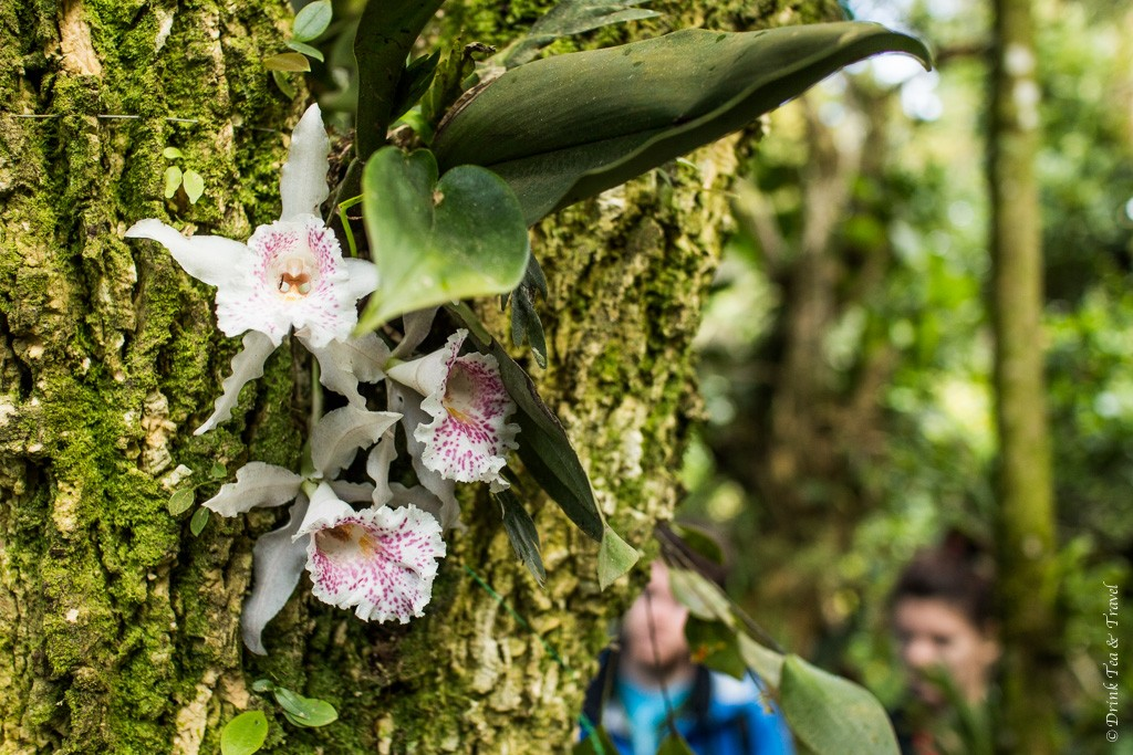 Costa Rica's national flowers growing on a tree. Monteverde. Costa Rica