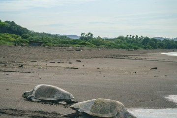 costa-rica-ostional-turtles-4453