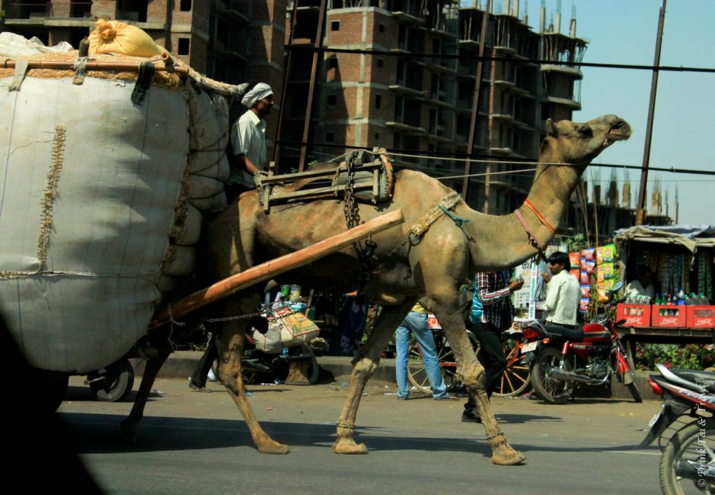 Camel on the street in India