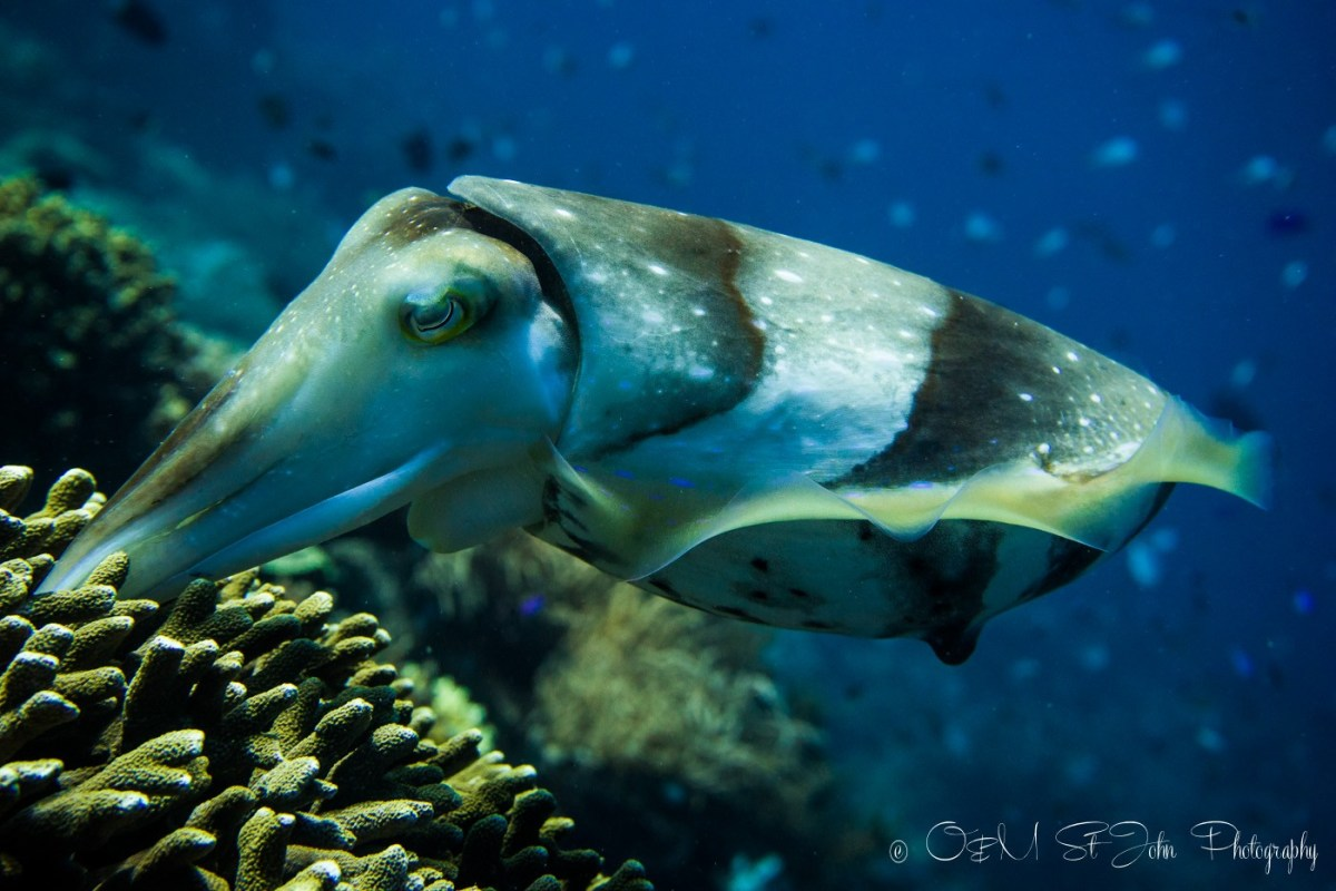 Cuttlefish. Diving in Komodo National Park.
