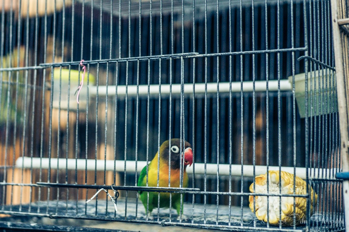 One of the many birds you'll come across at a bird market. Java. Indonesia
