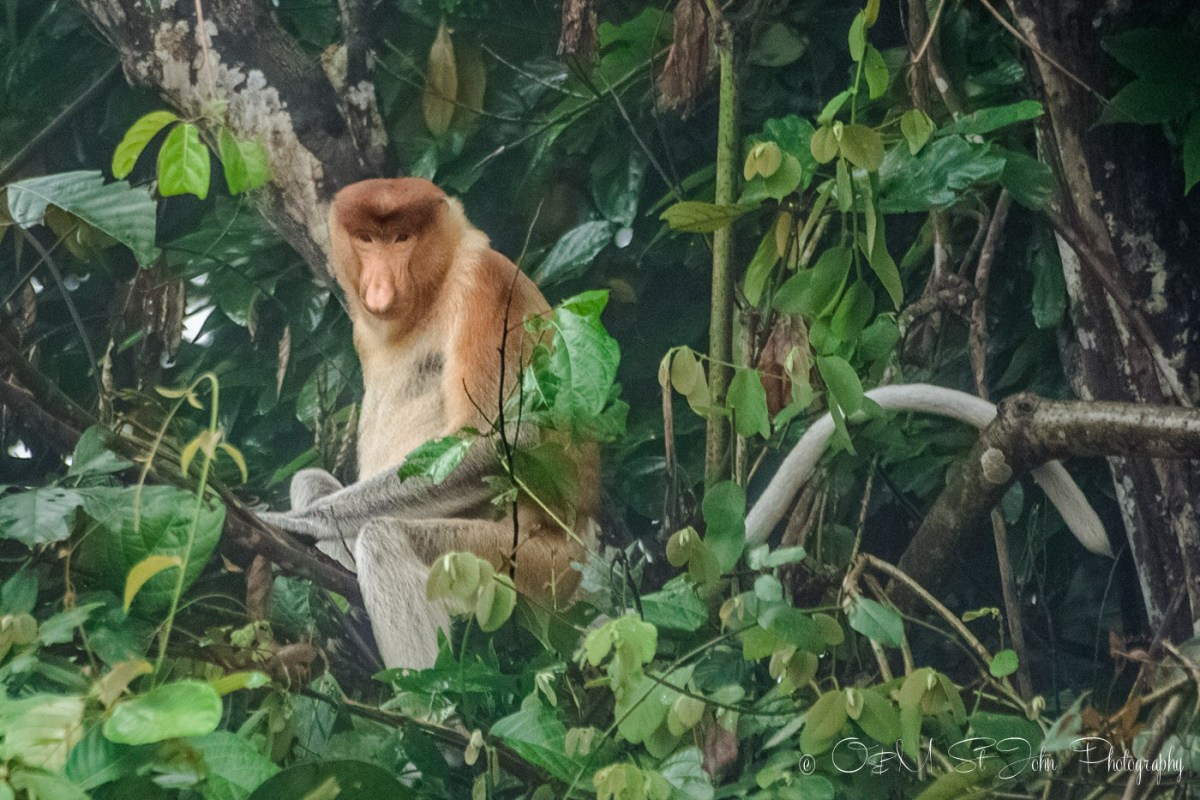 Proboscis monkey along the Kinabatangan river in Sabah, Malaysian Borneo