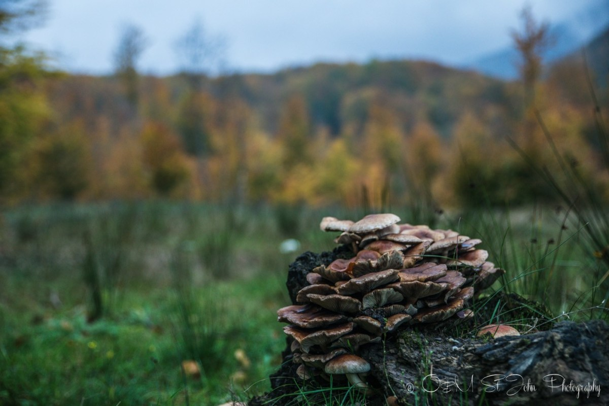 Mushrooms in Maramures forest. Romania