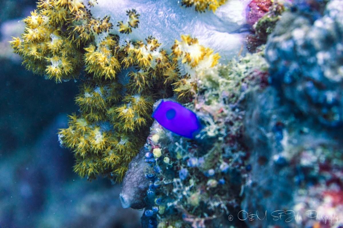 Coral at Sipadan Island. Diving. Sabah. Malaysia. Borneo
