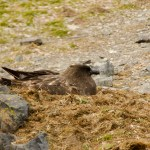 Skua and chick