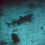 18Oct14 Day347 - White Trip Reef Shark, North Seymor, Galapagos Islands