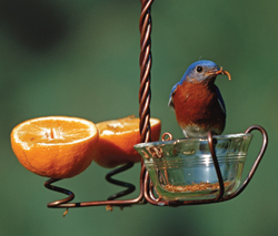 bluebird on fruit feeder
