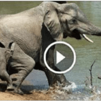 Amazing Battle Between Elephant And Crocodile