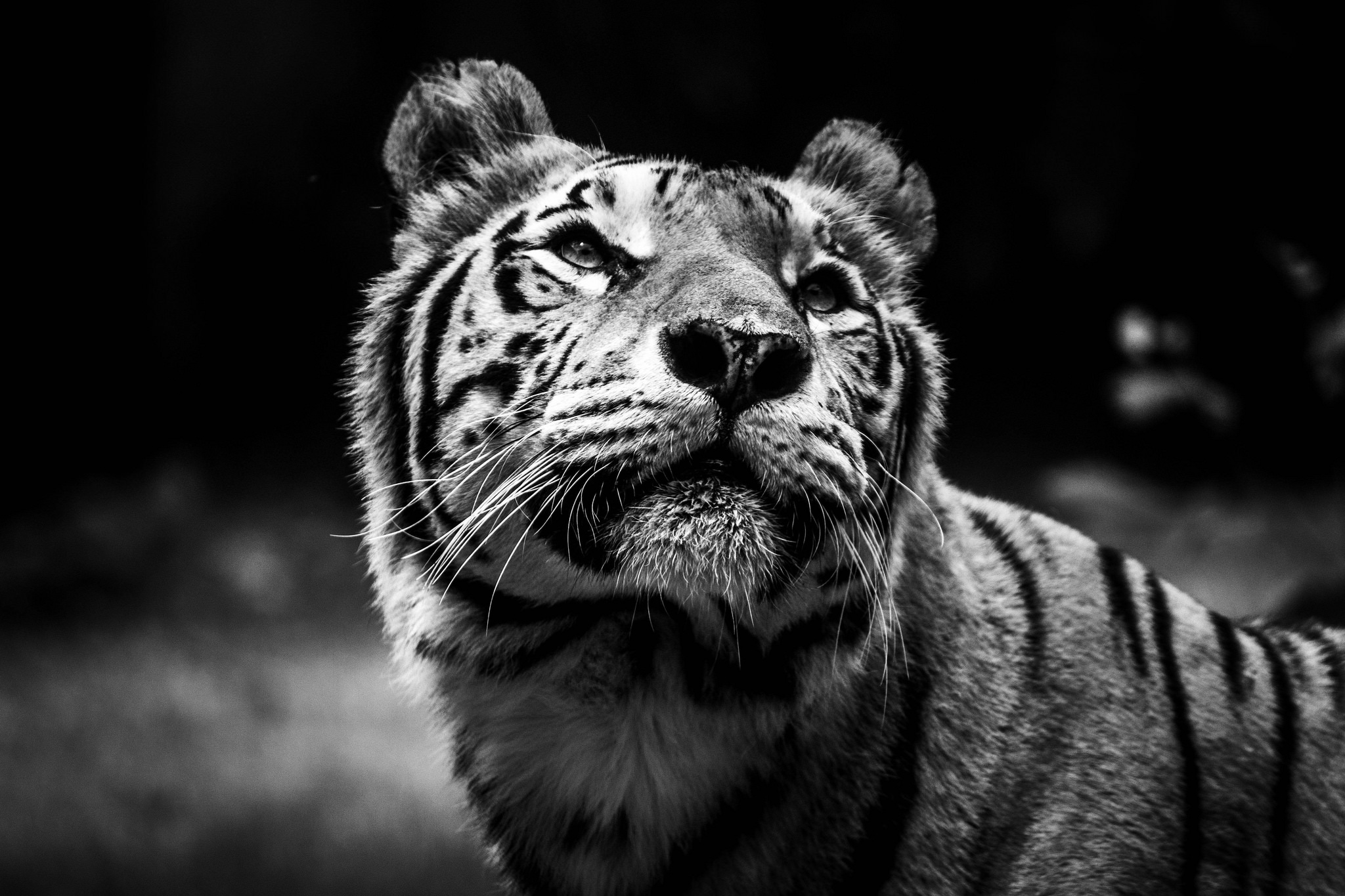 Bengal Tiger Waiting For Treat