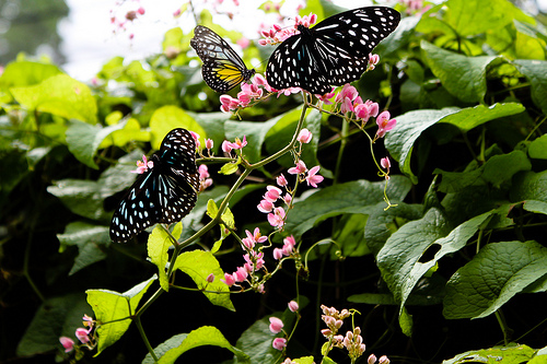 black and white butterflies resting on foliage and pink flowers