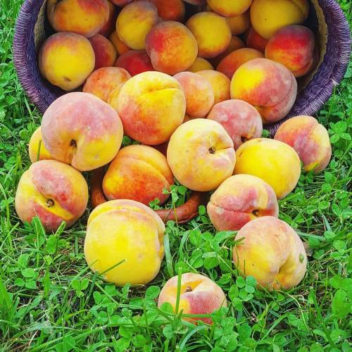 Peaches like these deserve your full attention...