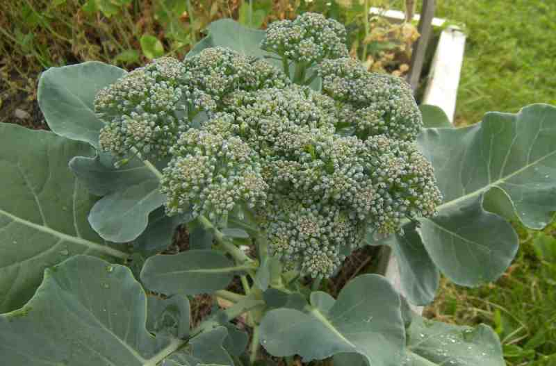 Large Of When To Harvest Broccoli