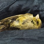 The Canary Is Dying and So Is Our Future