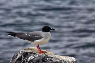 Swallow tailed gull, Punta Suarez, Isla Espanola, Galapagos Islands, Ecuador.