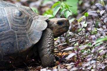 Giant tortoise, Isla Isabela, Galapagos Islands, Ecuador.