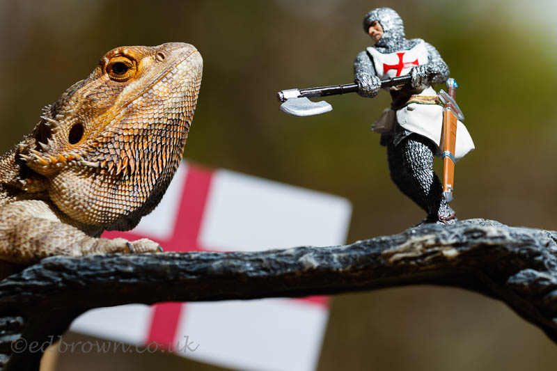 St George's Day.  Fenster the bearded dragon takes on a knight in some much needed practice.