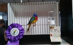Our Best In Show Scarlet Chested Parakeet cock named Martin © COPYRIGHT 2016 Rick Solis