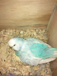 Misty, a sky blue opaline spangle is guarding her eggs that are ready to hatch. © COPYRIGHT 2017 Eddie's Aviary