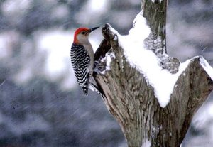 Woodpecker enjoying a snag.