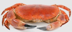 A boiled crab, before being dressed