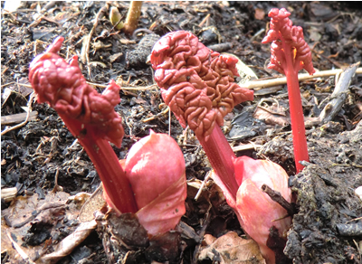 Scottish rhubarb growing nicely
