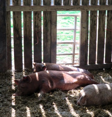 Pigs at Whitmuir Organics