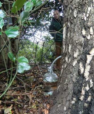 Collection of birch sap in the Botanics