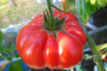 Home grown heritage tomato