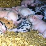 Gorgie City Farm: Local foods