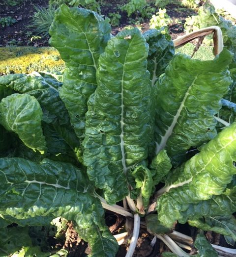 Chard growing proud.