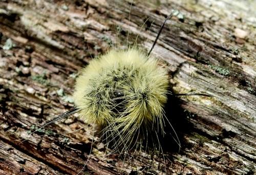 Medium Of American Dagger Moth